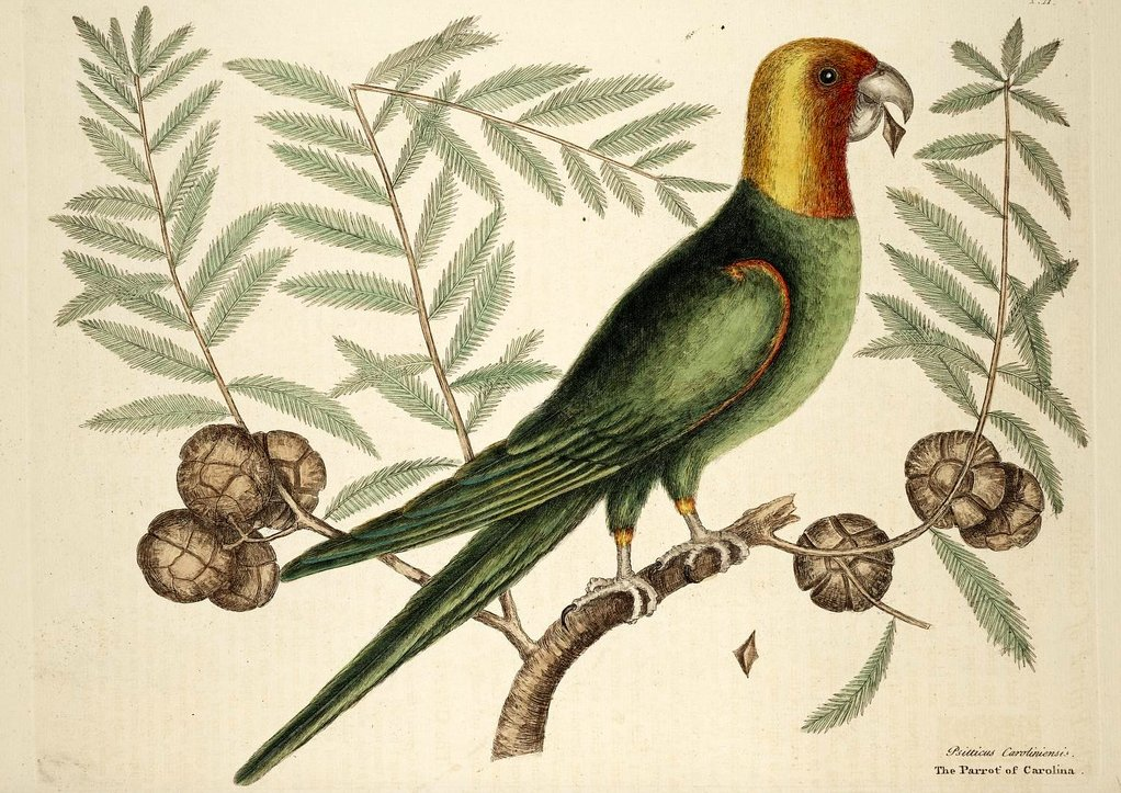 The @ABA continues its observance of the centennial of the EXTINCTION OF AMERICAS ONLY NATIVE PSITTACID, the Carolina Parakeet. Heres an eerie and unsettling reflection by Americas preeminent ornithological historian, Rick Wright: tinyurl.com/ybo2bb4o