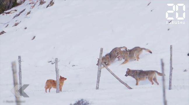 VIDEO. Ce chien réussit de justesse à échapper à trois loups https://t.co/OwrlOsLwEI