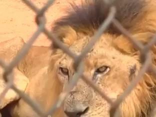 VÍDEO: zoológico na Venezuela estaria sacrificando animais para alimentar outros (via @ReutersBrazil) https://t.co/x7NuBsFsqK