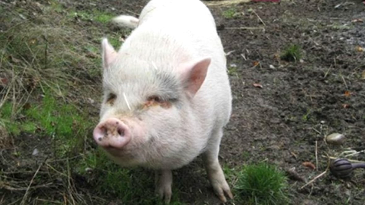 cbc british columbia on twitter a pet pig adopted last month was