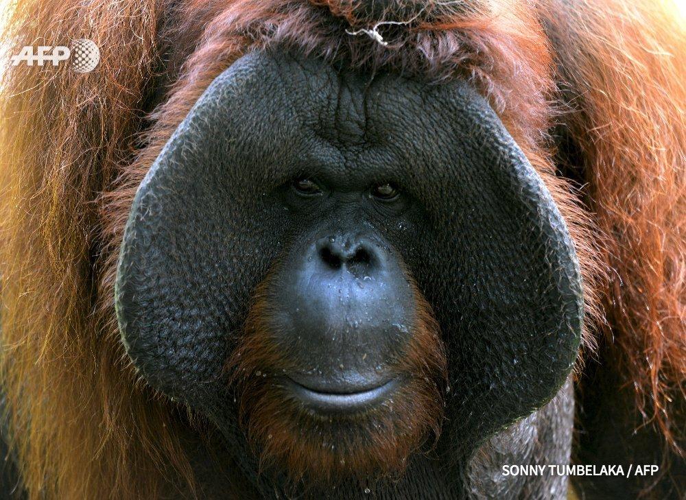 La population d'orangs-outans de Bornéo a diminué de moitié depuis 1999, avec la disparition de près de 150.000 singes, un phénomène largement dû à la déforestation https://t.co/kRAirbqcXa #AFP