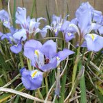 Image for the Tweet beginning: Spotted this Algerian iris, aka