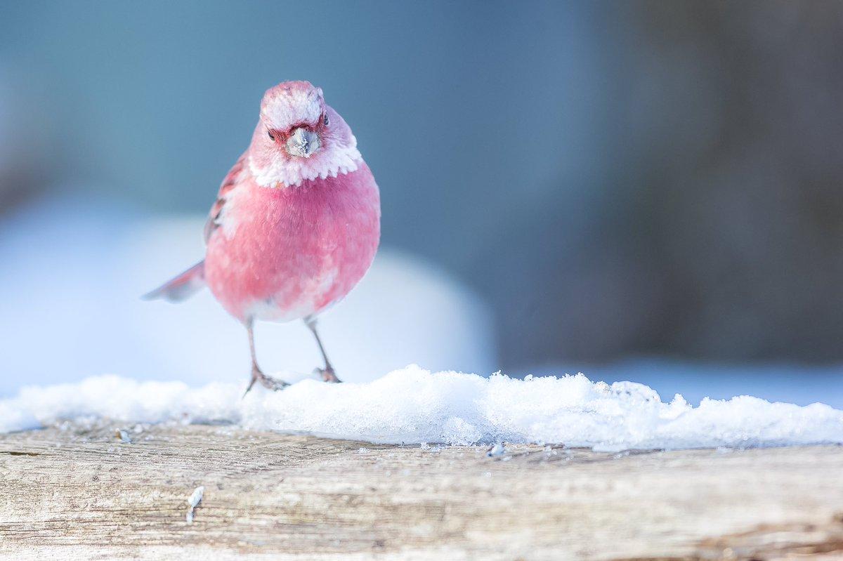ピンクのスズメ?オオマシコ。シベリアやモンゴルに生息。日本にも冬に少し来る