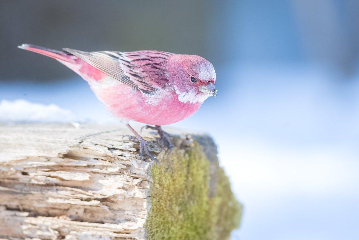 まるでピンク色のスズメ?!綺麗な色をした不思議な鳥「オオマシコ」