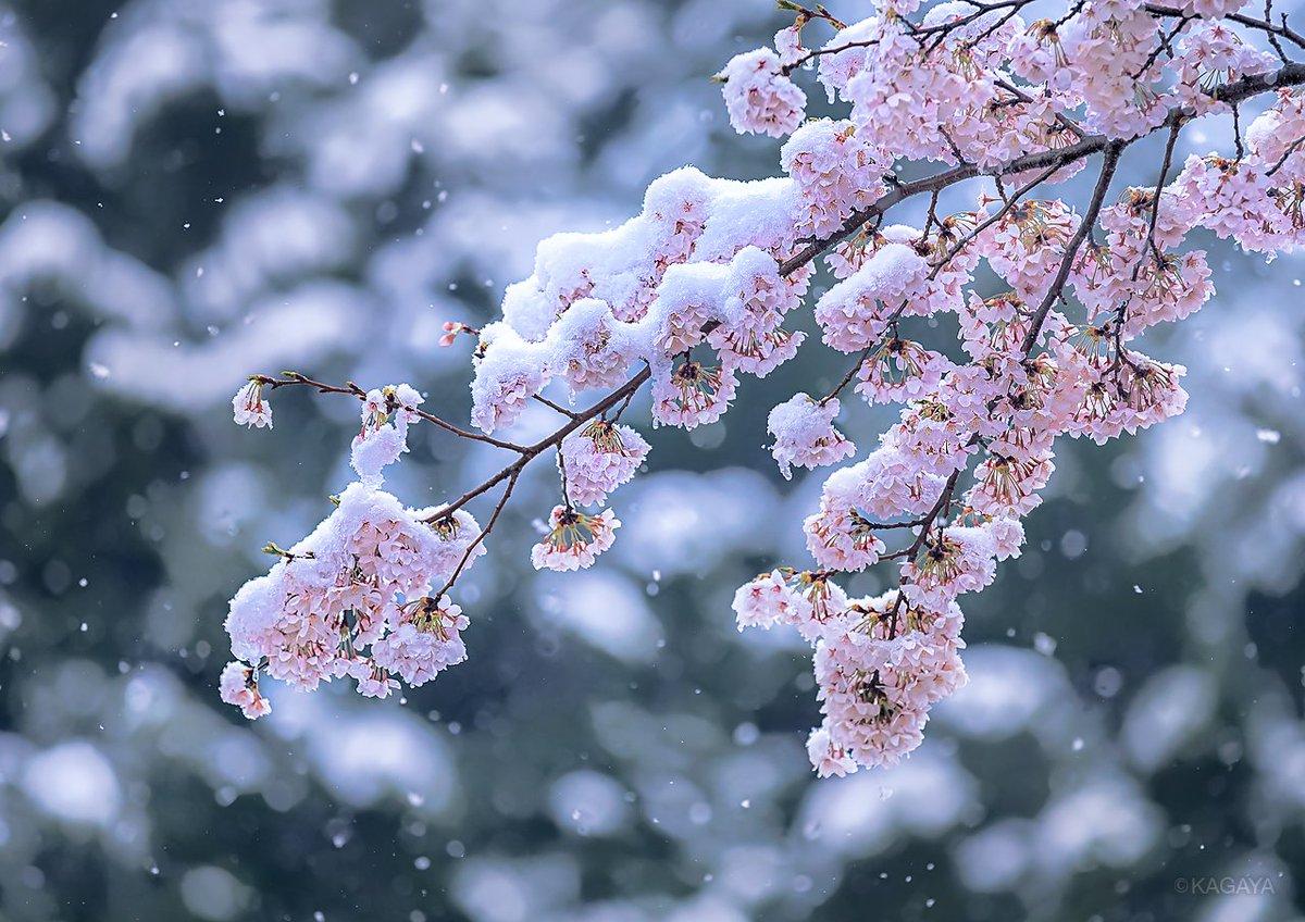 雪桜。 会うはずのない幻の共演。 (以前の写真より) 今週もお疲れさまでした。おだやかな週末になりますように。