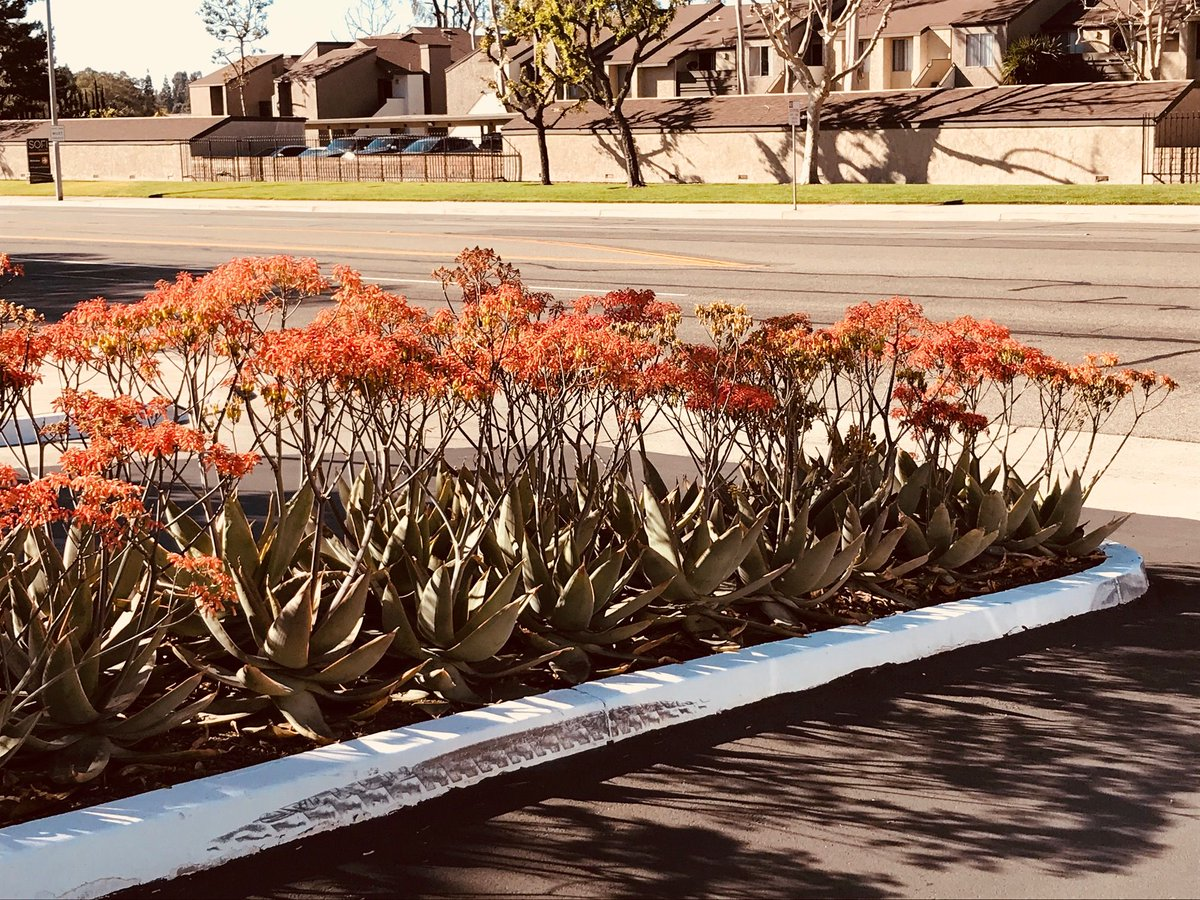Treetown Usa Village Nurseries Hines Growers On Twitter Nothing Looks Better Than When A Bed Of Aloe Striata Is In Full Bloom