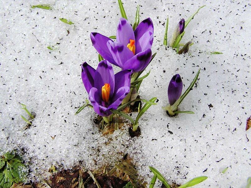 знали картинки весна ранняя крокусы бледносерой