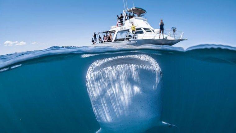 Un tiburón ballena fue captado bajo el c...