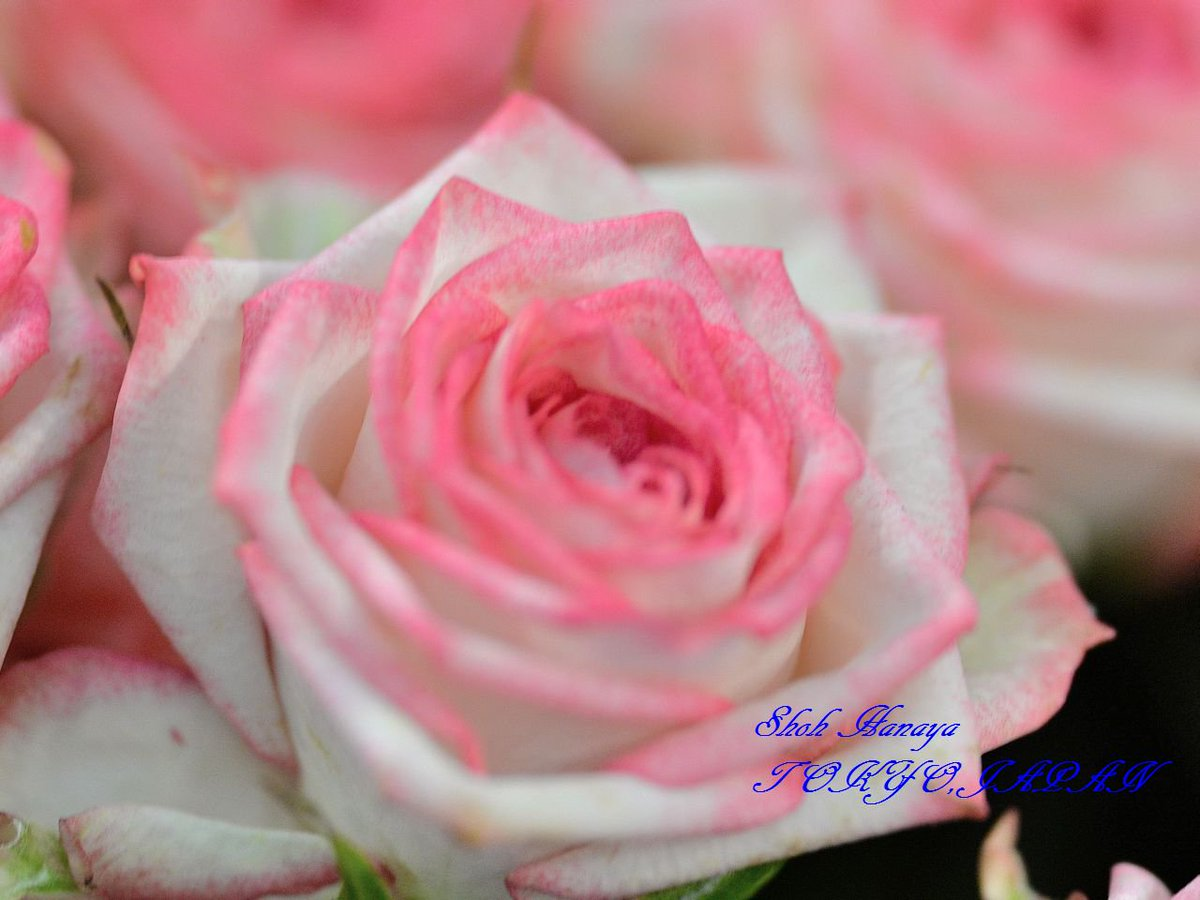 ピンクワルツ  Pink Waltz  2 / 2 #国際バラとガーデニングショウ #メットライフドーム #西武ドーム #バラ #roses #flowers