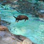 失われた野生w「コツメカワウソ」は無音で水に飛び込めると飼育員が説明した直後