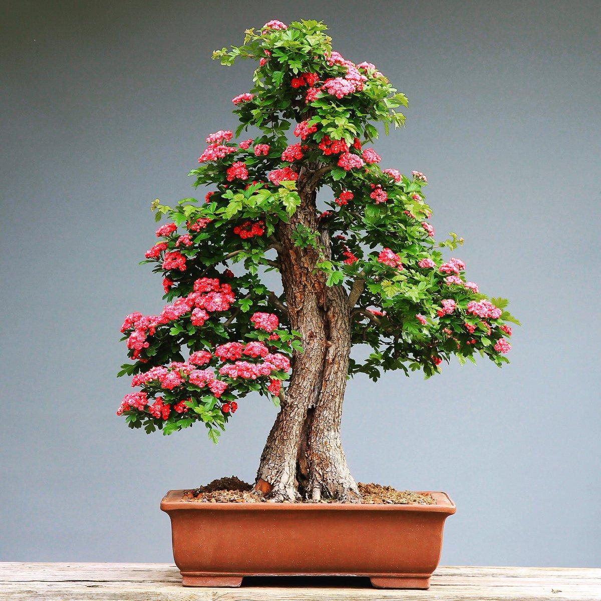 Bonsai Takumi On Twitter Green Tree With Pink Flower Bonsai