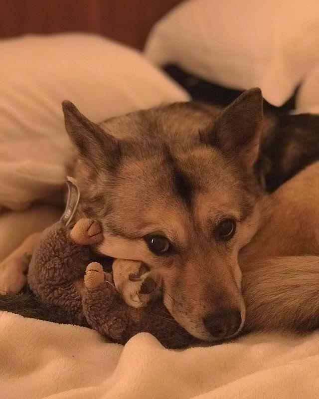 My baby!!! #puppy #puppylove #puppylovers #inlove #sweetpuppy #huskypuppy #huskyakita #huskymix #alexdreams #fligthattendant #inbed #fun #love http://ift.tt/2EZHC7Kpic.twitter.com/5YIXe2IsSm
