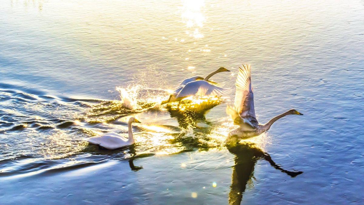偶然撮影できた自分史上最高の瞬間を見て下さい🙇  #白鳥 #逆光