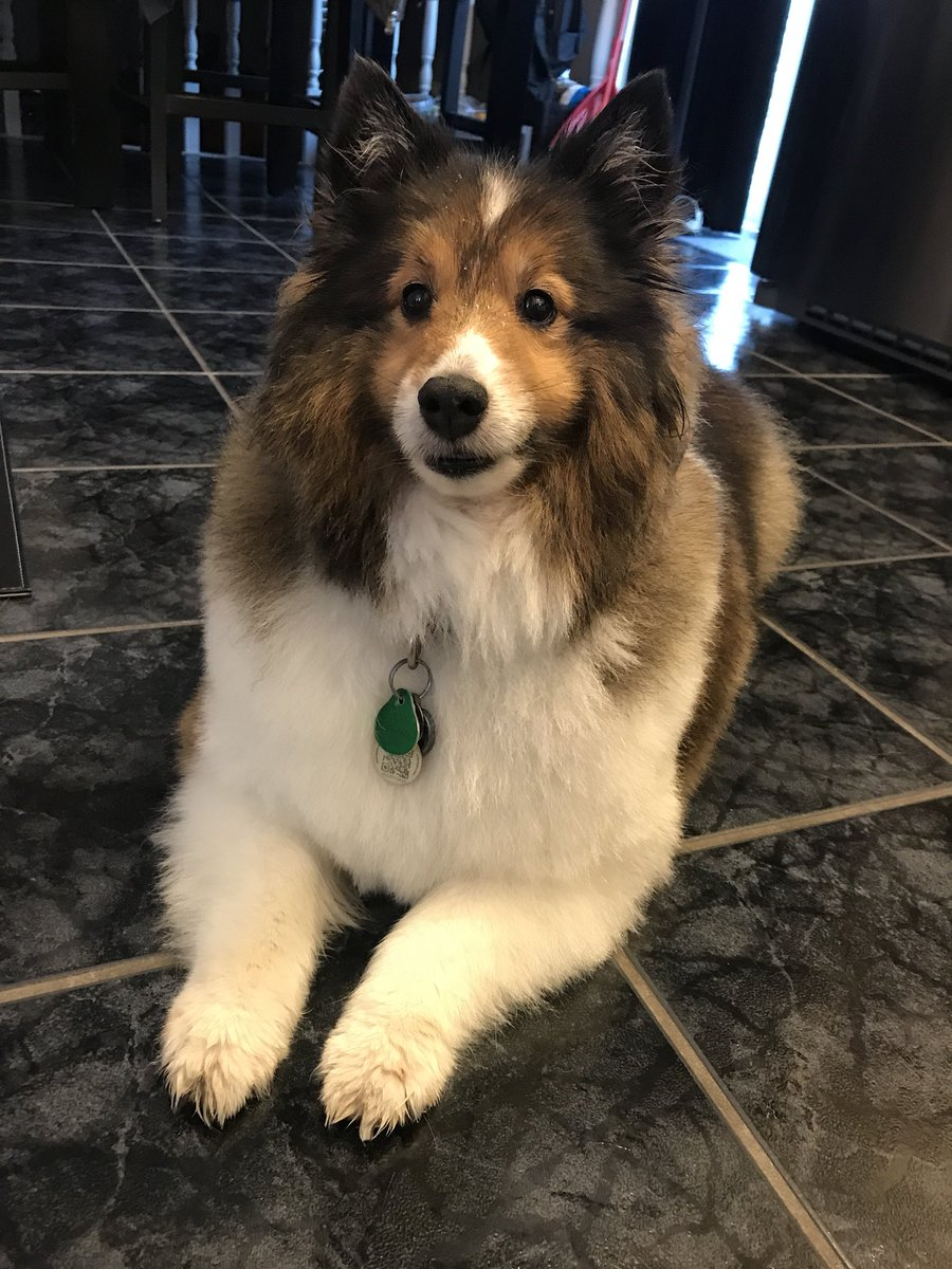 "🍀Jillers86🍀 on Twitter: ""Ok can we please just take a moment and look at how cute she is with her little haircut? #sheltie #mollymae 🐾… """