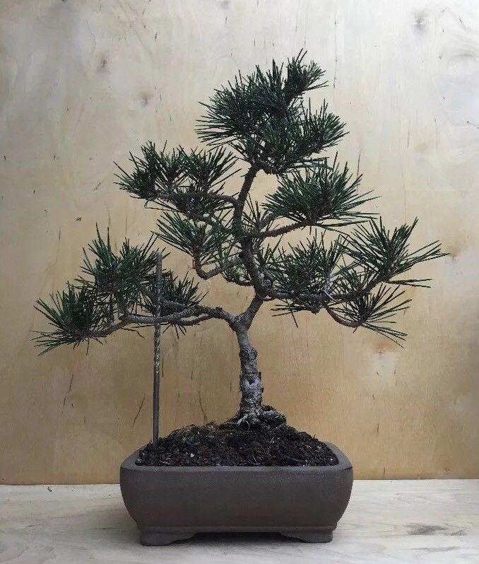 Virgin japanese black pine wholesale alicia machado hot