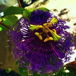 From my purple depths, passiflora stories
