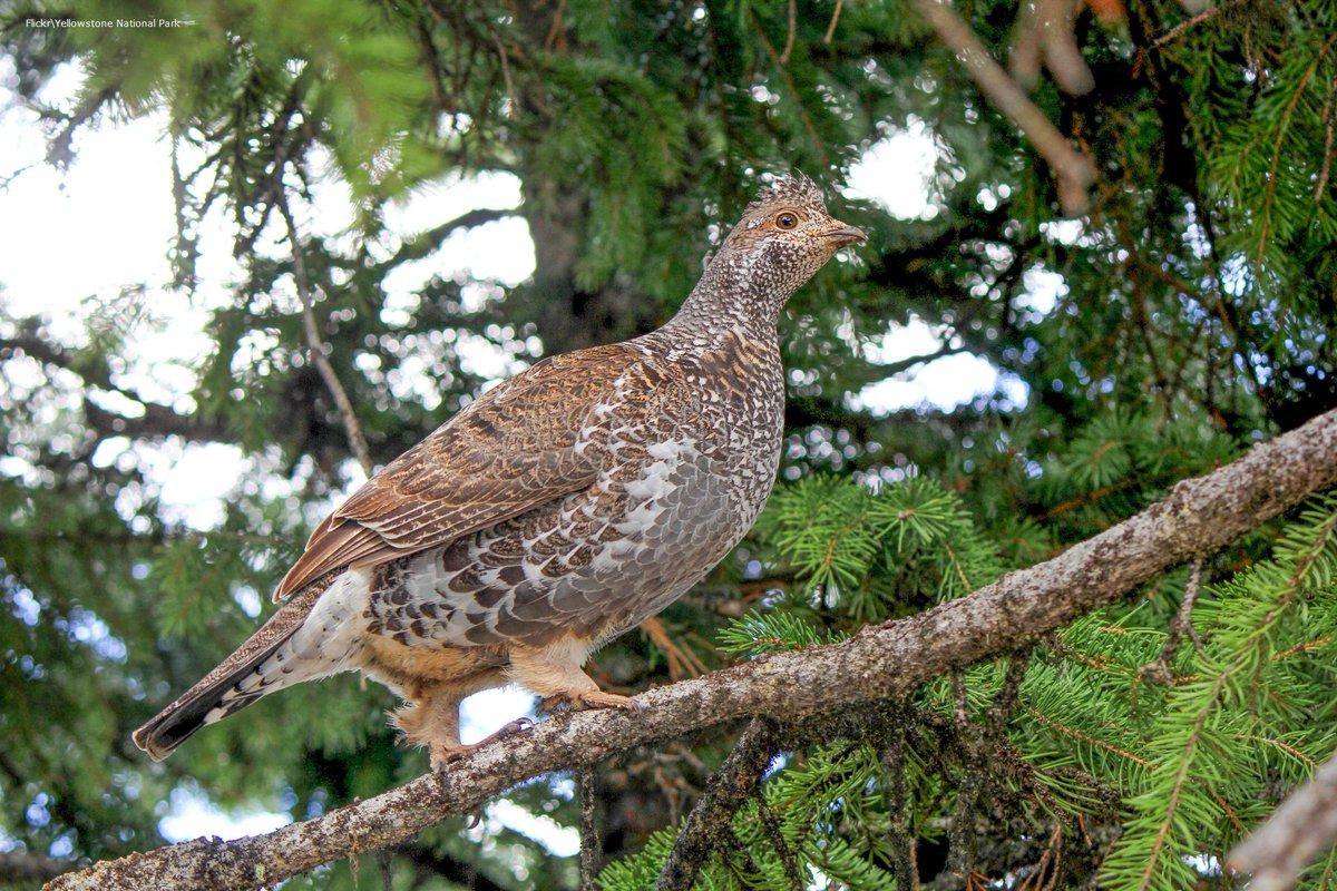 audubon pennsylvania on twitter the ruffedgrouse bonasa umbellus