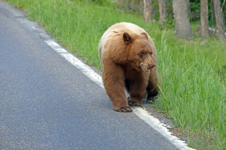 Why do we need large, living landscapes where animals are free to move? Crossing through Greater #Yellowstone becomes more perilous with more busy roads. @MoJoGYE @Y2Y_Initiative bit.ly/2F9Zo8w
