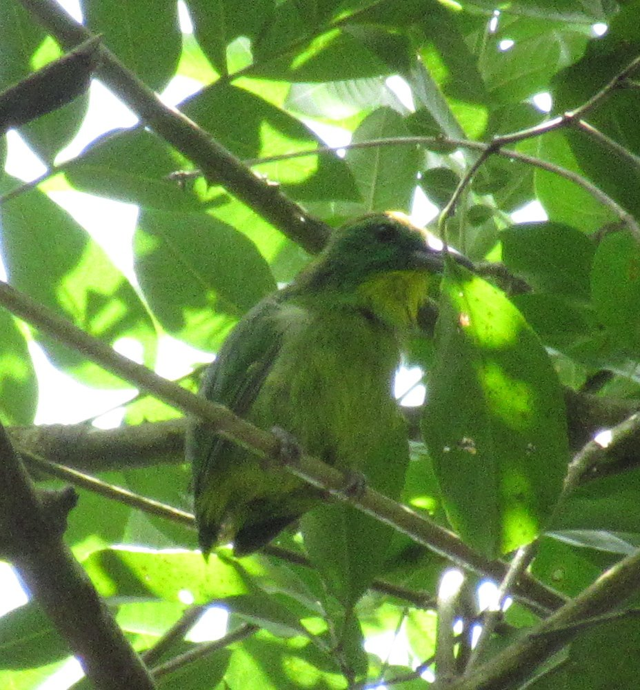 Ohhh TRICKY INTERNATIONAL #BIRDQUIZ! Do you have any idea what this bird/leaf is? (Pic: Panama, September, @plantpollinator). RT or reply your guess. Answers at 8 pm CT.