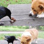 マズいものはマズいwカラスに差し入れでセミを食べさせられた時の犬の顔!