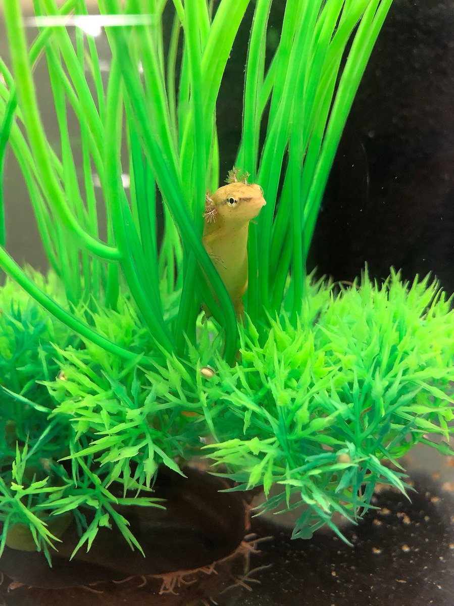 Amphibian Foundation On Twitter For Salamandersaturday Were