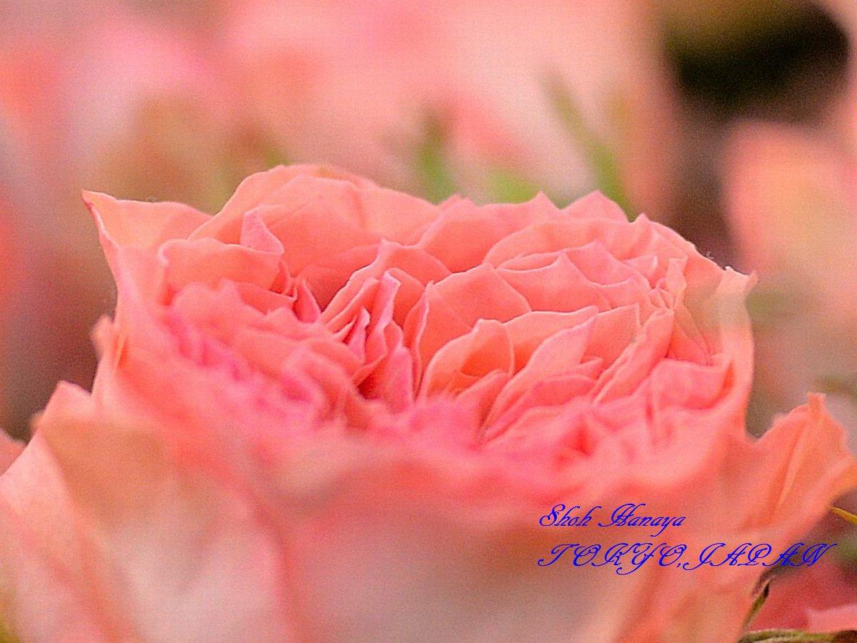 ローラ Laura  2 / 2 #国際バラとガーデニングショウ #メットライフドーム #西武ドーム #バラ #roses #flowers #floral #photography #floralphotography