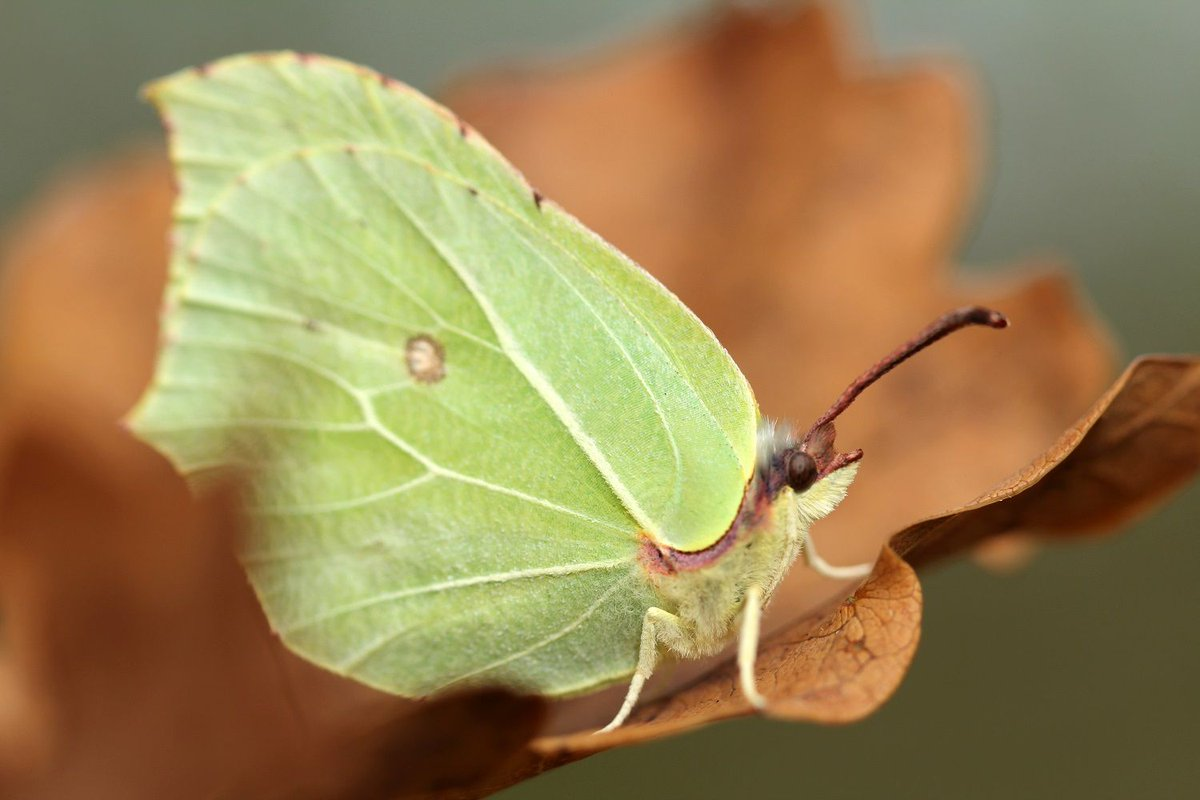#Brimstone Butterflies Brighten Up Our Gardens U0026 Woodland. Female Have Pale  Green Wings U0026 Males Have Brighter Lemon Yellow Wings. If Youu0027ve Spotted  Any, ...