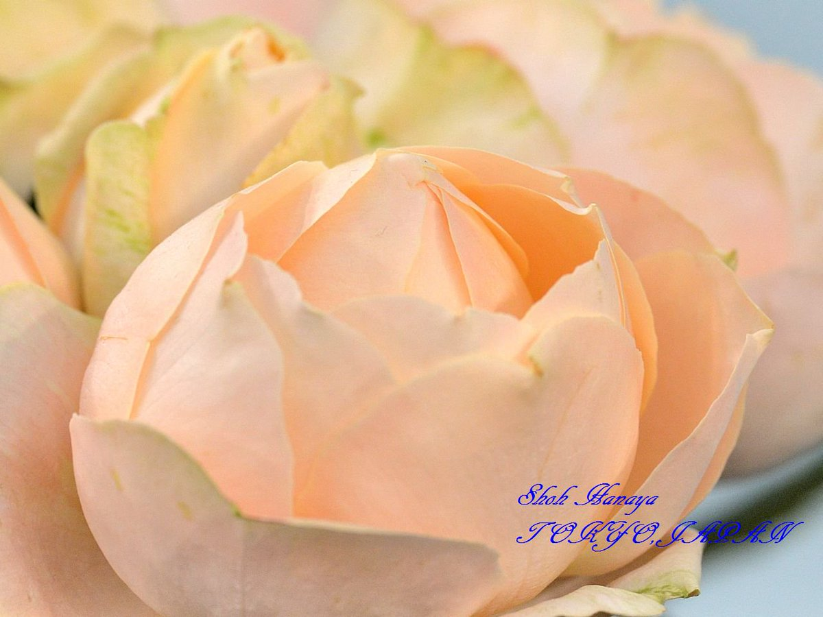 アプリコットファンデーション Apricot Foundation  2 / 2 #国際バラとガーデニングショウ #西武ドーム #バラ #roses #flowers
