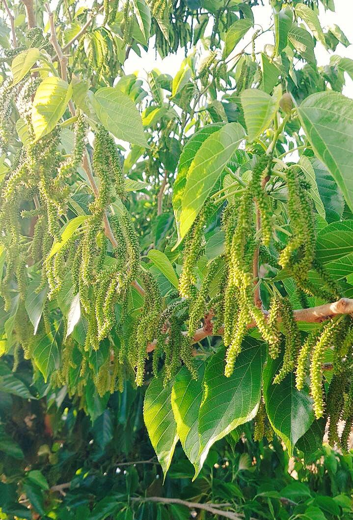 شجرة التوت الكشميري
