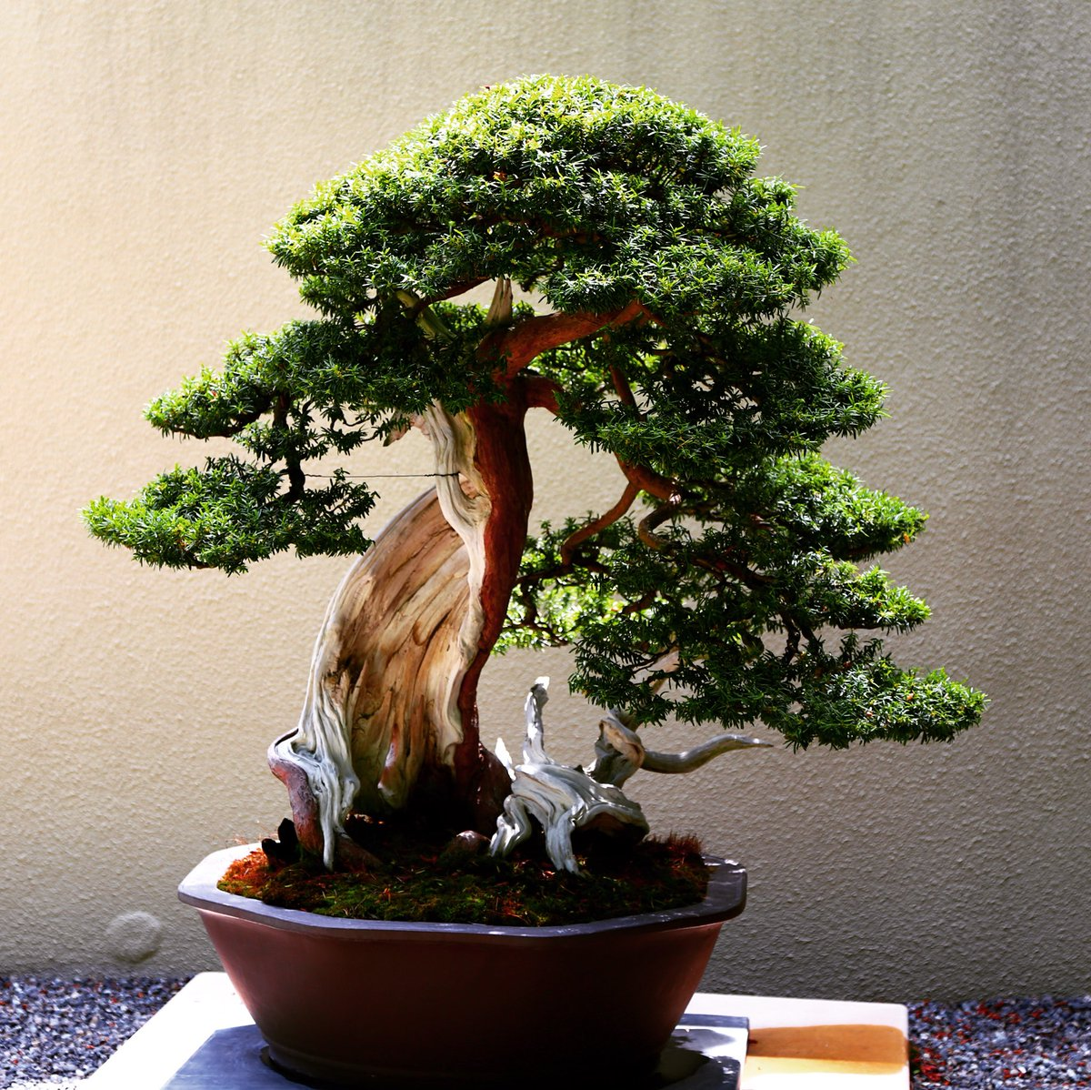 Bonsai Takumi On Twitter With White Tree Shimpaku
