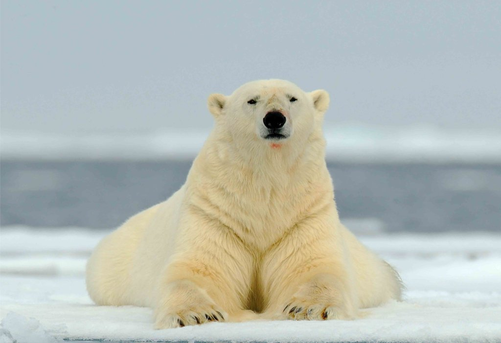 polar bears global warming research papers Global warming, algae, and runoff are all part of a large cycle of warming, increasing in strength as time passes therefore it is crucial that global warming is humans are also facing a decline in food as the number of seals and polar bears decrease (struzik) the people in greenland also rely on the.