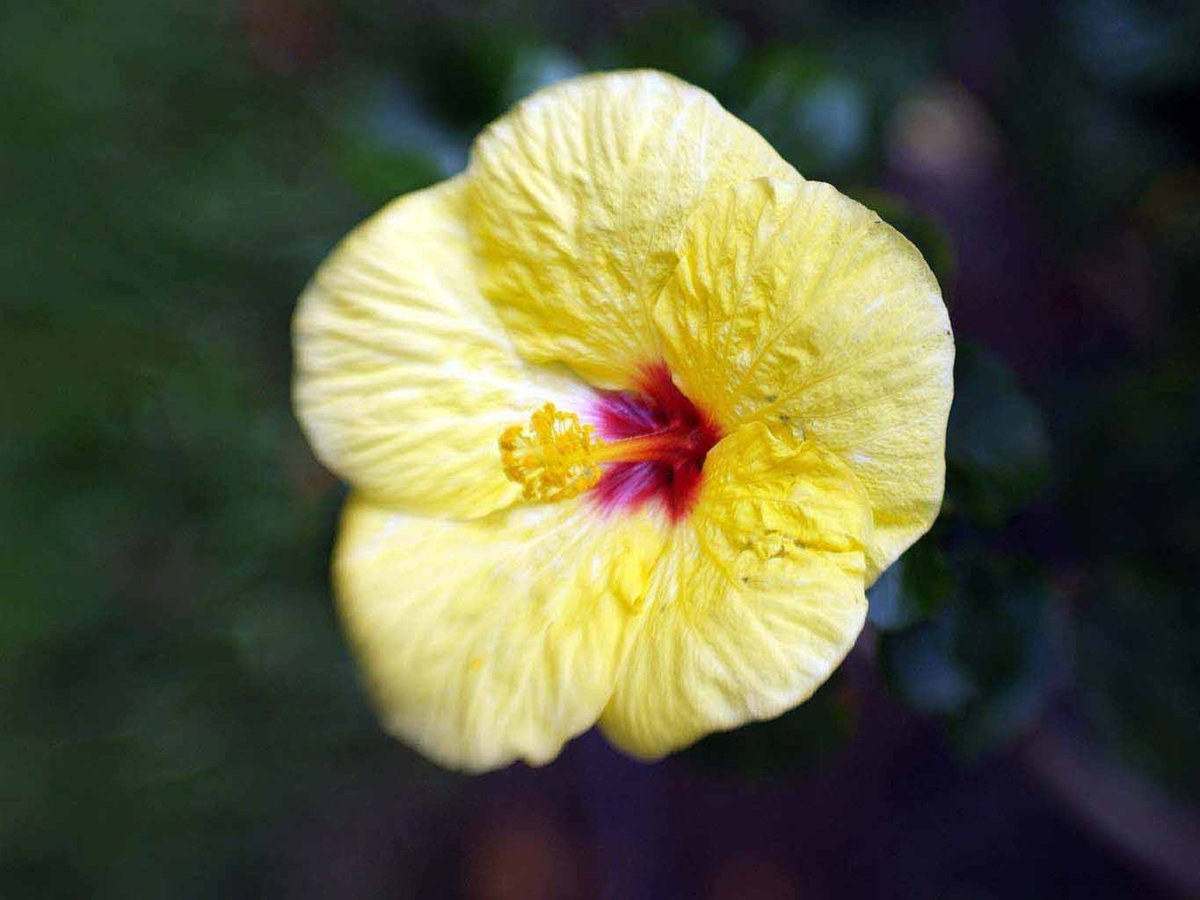 Valley isle tours on twitter there are so many beautiful and learn what flowers and flowering trees are found on maui hibiscus hawaii flower hawaiianhibiscusflowers httpstourmauiflowers in hawaii izmirmasajfo