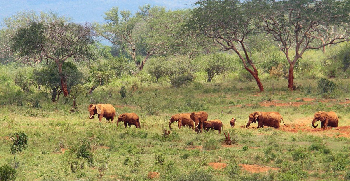 #DidYouKnow that Tsavo offers some of the most magnificent game viewing in the world- Vast herds of dust -red elephants, Fat pods of hippo, giant crocodile, teeming herds of plains game, a fantasia of bird-life and some magical flora. #DiscoverKWSParks #TravelTuesday