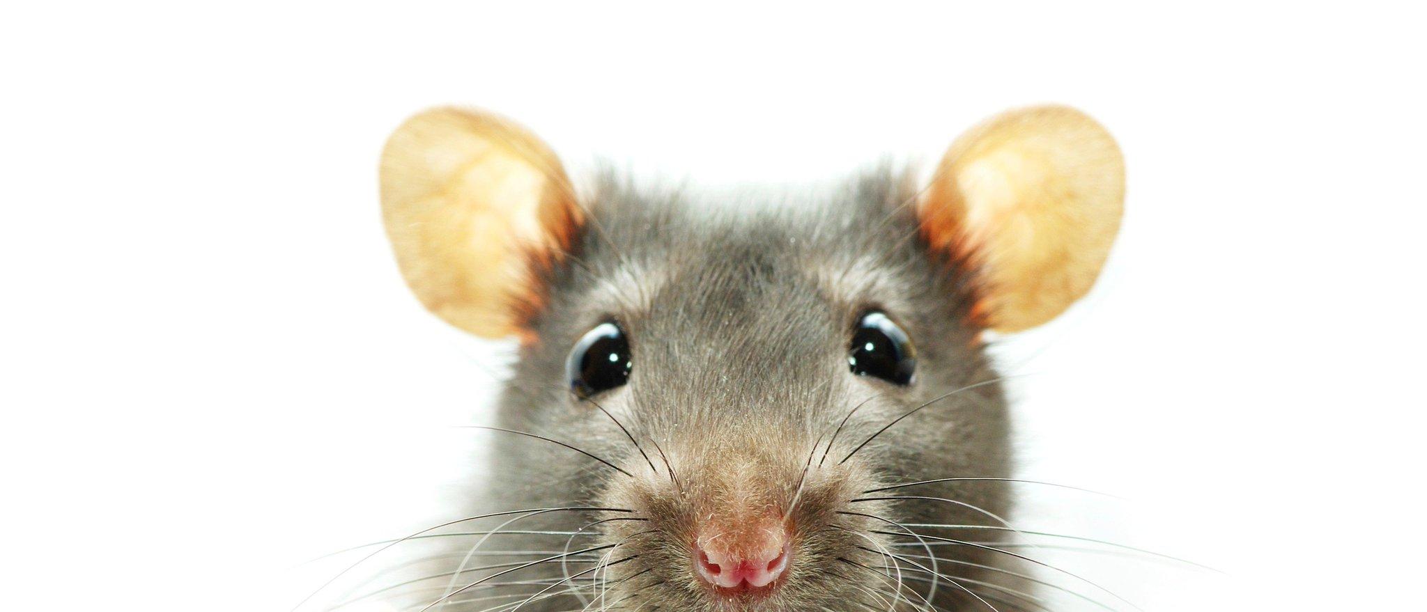 Смешные картинки крыса, днем рождения для