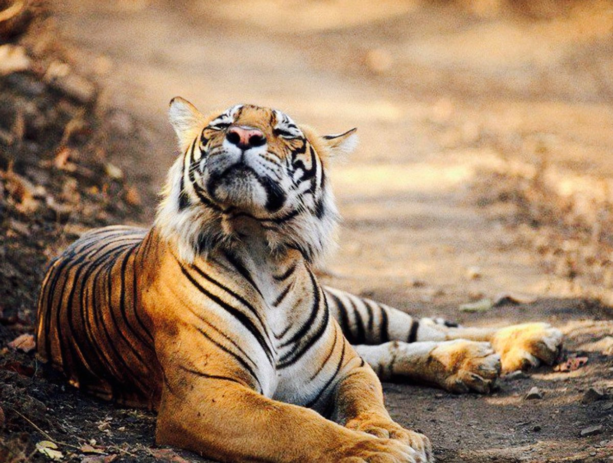 Вознесения, тигрица смешно картинки