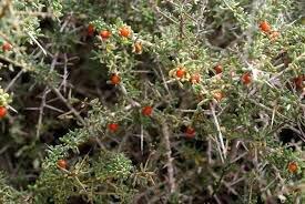نبات العوسج في قطر