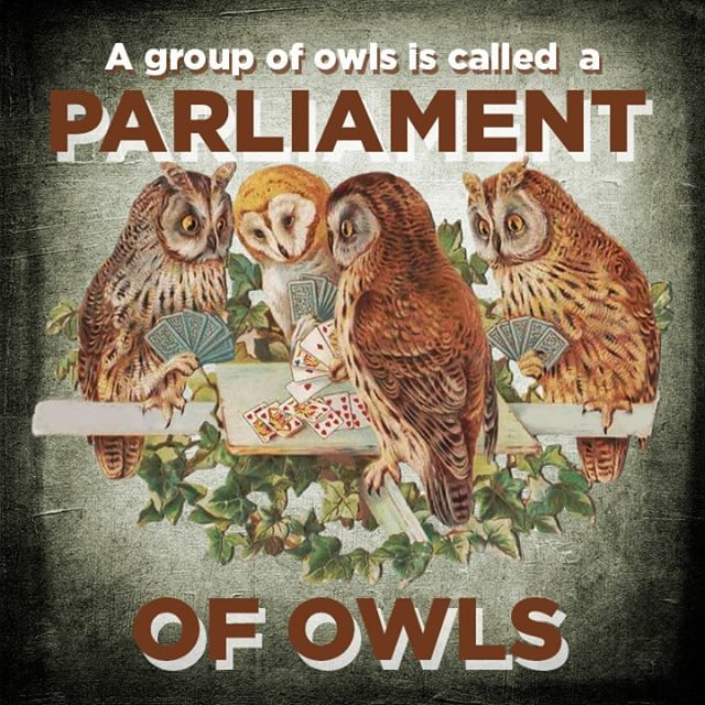 Magic Franky On Twitter The Collective Noun For Owls Is More Of A