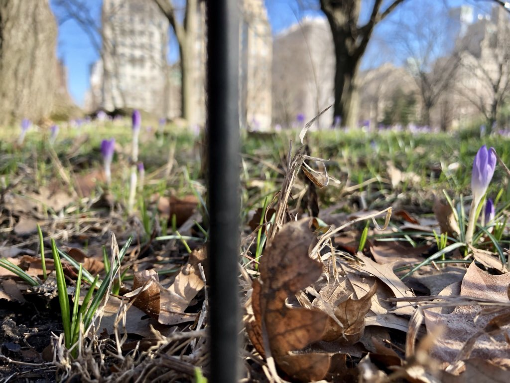 Snow may be approaching but the crocuses got to Central Park first: https://t.co/l3a9YBHPA0
