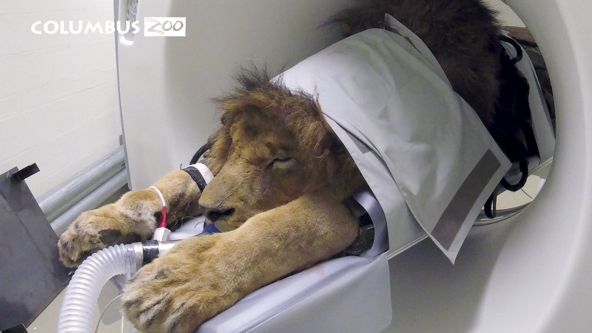 A big cat named Tomo undergoes, a...um, CAT scan at the Columbus Zoo and Aquarium. The 14-year-old African lion has a bit of gum disease and is expected to recover fully.  https://t.co/cfaMXNTRBP