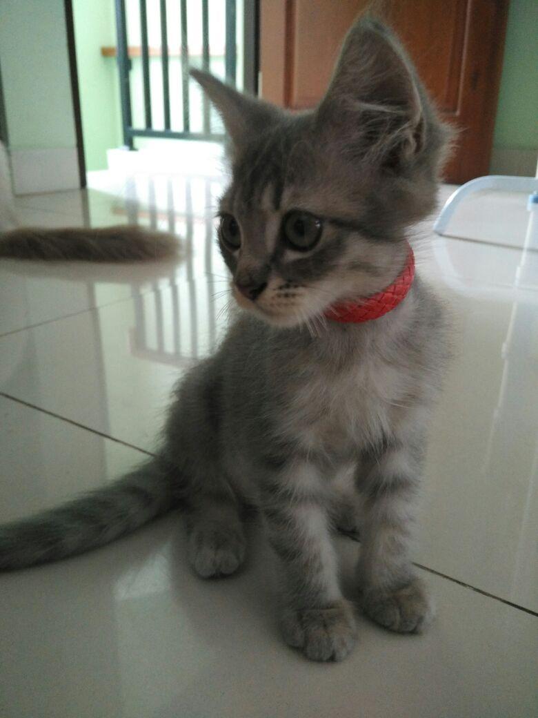 Unduh 94+  Gambar Kucing Anggora Campur Kampung Imut HD