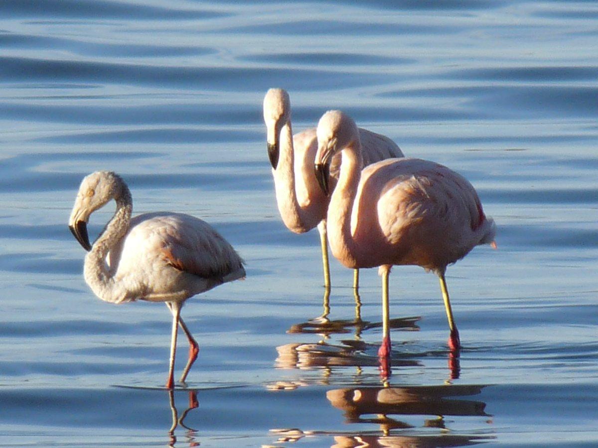 """Parques Nacionales on Twitter: """"#FaunaDeLosParques En el Parque Nacional  #LagunaBlanca, ubicado en la provincia de Neuquén, habita una gran variedad  de aves. Entre ellas los flamencos, que pueblan lagunas y estuarios…  https://t.co/P7vrC0Tfsb"""""""