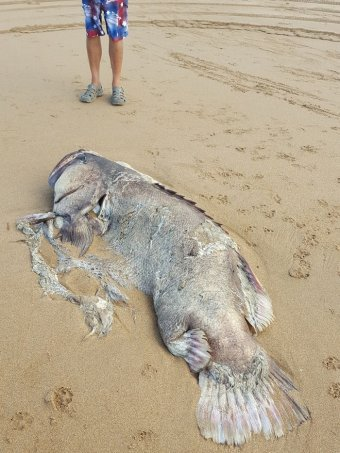 Yikes! A 150kg mystery fish was found washed up on a Queensland beach. https://t.co/Kqt2RO7l8J https://t.co/B1EPUG5fU5