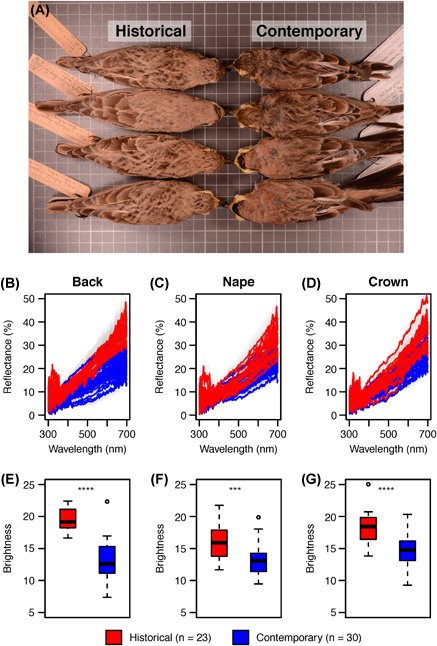 Rapid phenotypic change in a native bird population following conversion of desert to agriculture #ornithology onlinelibrary.wiley.com/doi/10.1111/ja…