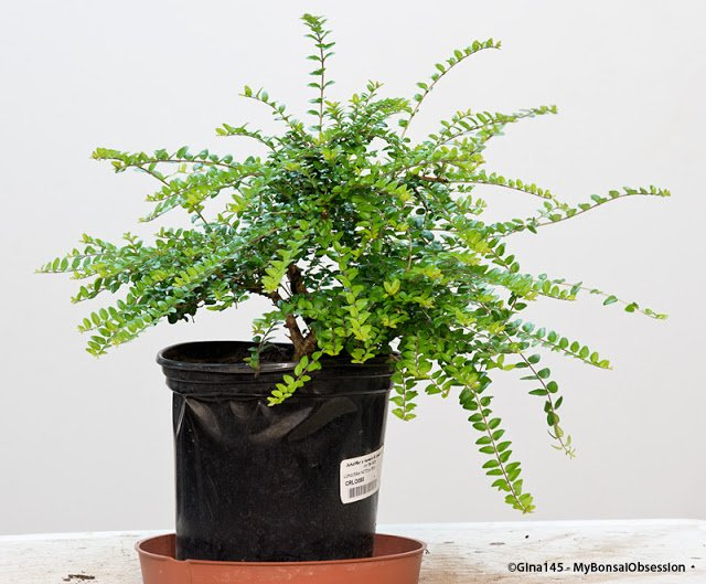 My Bonsai Obsession On Twitter My Bonsai Obsession What To Do With A Crazy Lonicera Https T Co Hjuyver3x4 Bonsai Lonicera