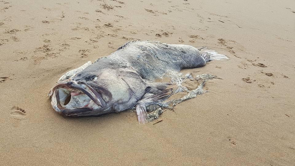 Peixe 'alienígena' surge em praia e intriga moradores na Austrália; veja →  https://t.co/VYnmz47R0Q