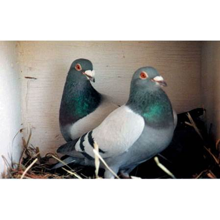 test Twitter Media - Did you know that #Pigeons are monogamous and can #live to the #age of 20? Speaking of #loyalty! #pigeonracing #loveatfirstsight #homingpigeons #facts #interesting https://t.co/sJqaRX0e5Z