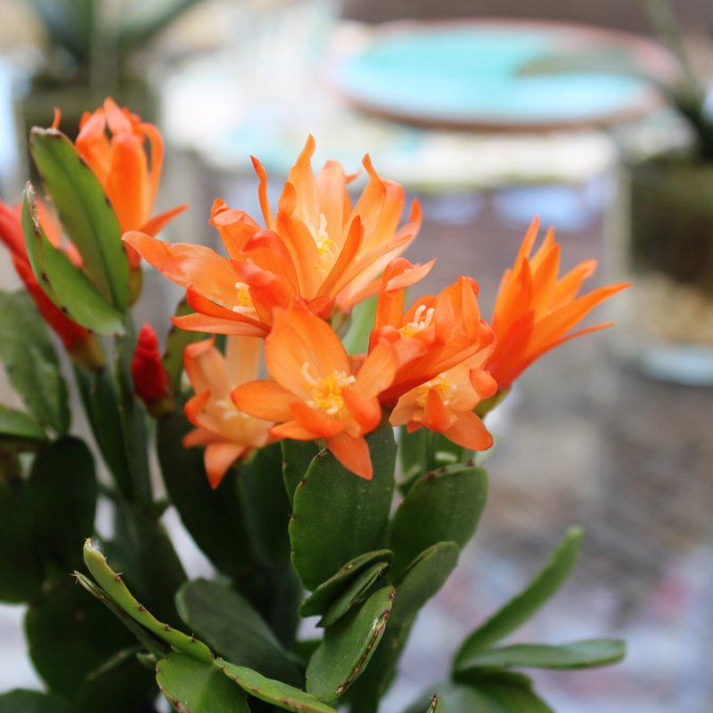 English gardens on twitter also known as an easter cactus the english gardens on twitter also known as an easter cactus the spring flowering cactus blooms a profusion of brightly colored flowers mightylinksfo