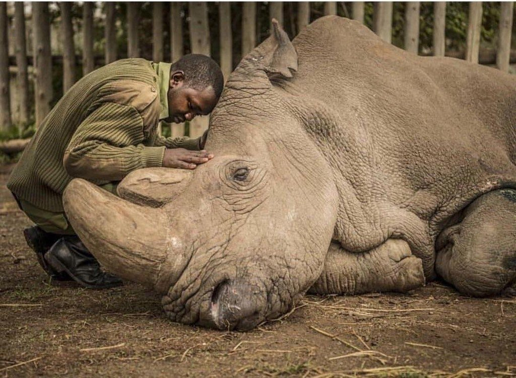 test Twitter Media - RT @GissiSim: Photo of the last moments of the last living male Northern White Rhino on earth. https://t.co/2uJ3jxQ31o