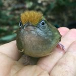 sorry, no photos of today's PUMA sighting!!!!! ...but here is a cute bird instead (Tawny-crowned Greenlet)  #BoyleLab #Ornithology