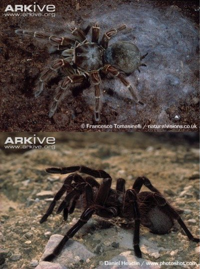 The Goliath Tarantula is the heaviest spider in the world (up to 175 g; almost a stoat! #stoatsasmeasurement) u0026 one of the largest in terms of leg span ... : dinner plate tarantula - pezcame.com